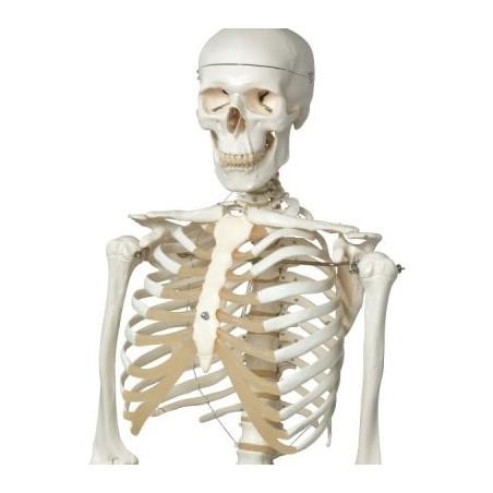 Πρόπλασμα ανθρώπινου σκελετού.